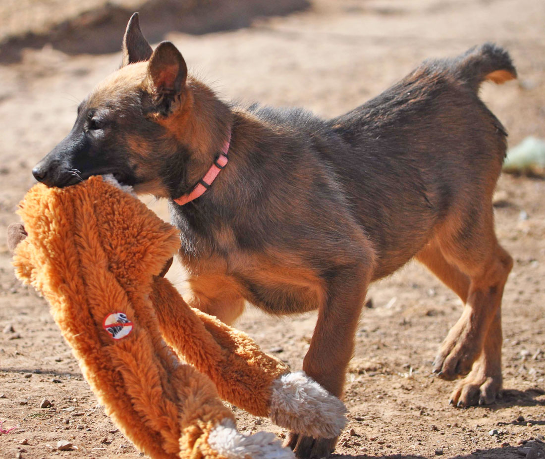 Malinois Puppies For Sale Testimonials