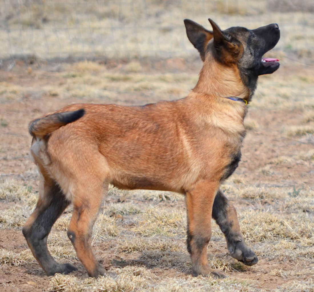 Review Belgian Malinois Puppy For Sale